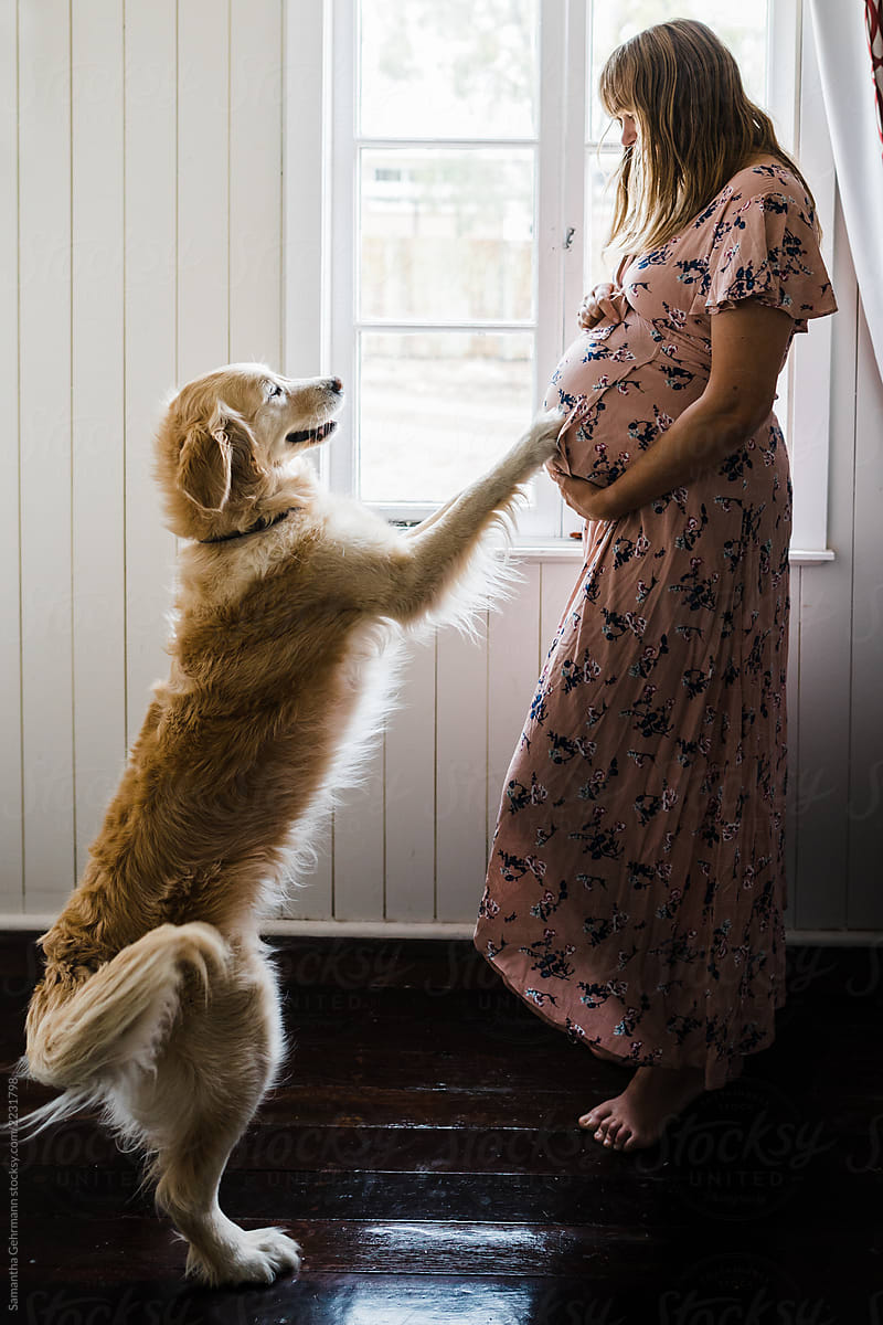Do dogs predict pregnancy?
