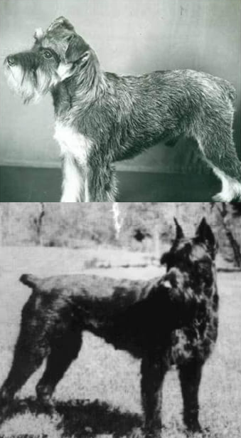 Origin of the schnauzer