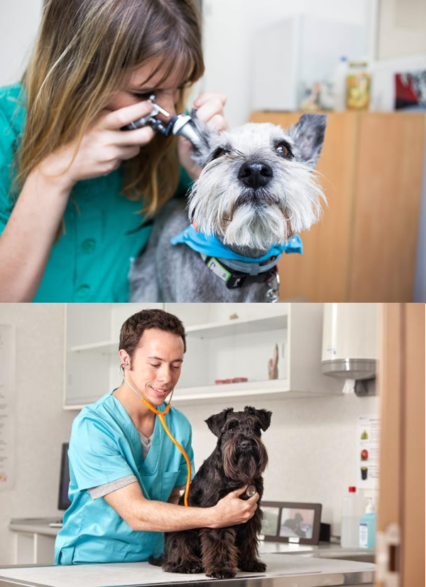 Care for Schnauzer