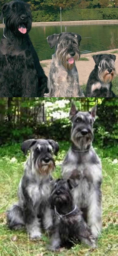 Three Types of Schnauzer